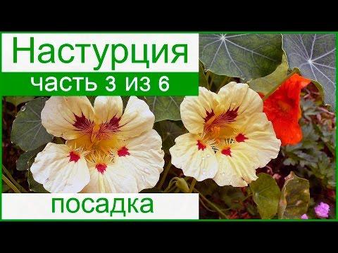 Выращивание настурции из семян, посадка настурции в саду