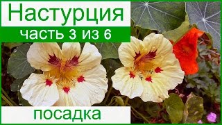 видео Настурция вьющаяся: выращивание из семян, уход