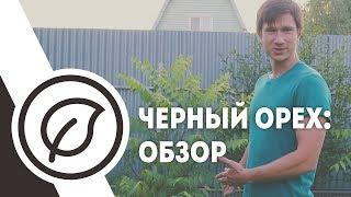 Черный орех на севере Московской области.