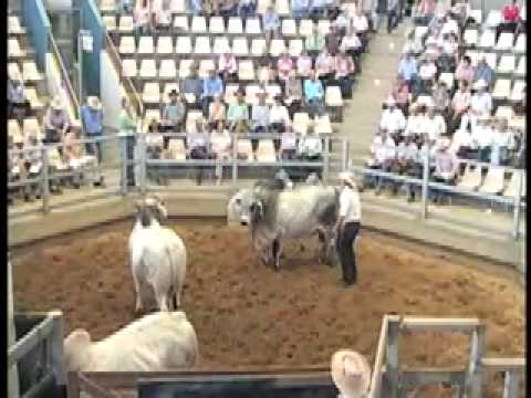 ROCKHAMPTON BRAHMAN WEEK 2009 LOT859