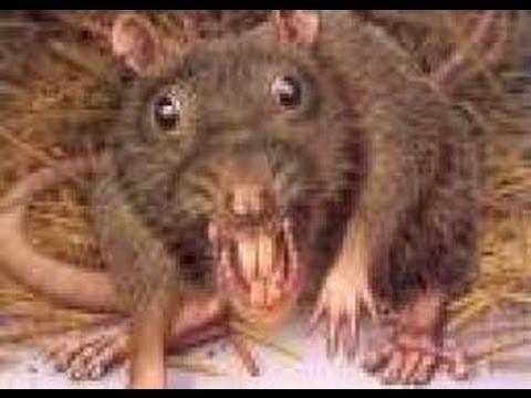 Giant Rat Killed In My Backyard