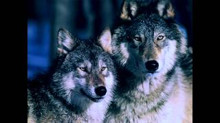 Wolves - Meditation Music - Relax Music - Sleep Music - Relaxation Sounds - Nature Sounds