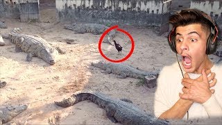 دجاجه ضد 50 تمساح ( اذا تخاف لاتدخل ) !!