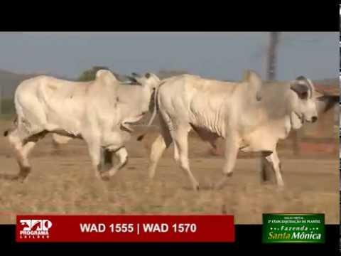 LOTE 59 - WAD 1555 | WAD 1570