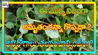 అమృతంతో సమానమయిన మొక్క-PUNARNAVA-తెల్ల గలిజేరు-home remedy-chitka channel-telugu