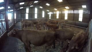 rentrée des vaches limousines avec leur veaux fin d'année 2017 [GoPro]