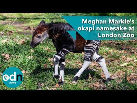 Meghan Markle's okapi namesake at London Zoo