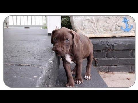 Cute Pitbull Puppies Playing
