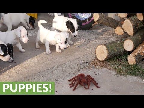 Jack Russell Terrier puppies take on robot spider