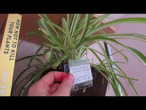 Spider Plant Propagation - How to harvest seeds from Spider Plants - Chlorophytum