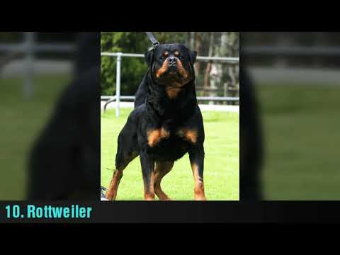 Top 10 most intelligent dog breeds. HD|Chanchal Rudra|