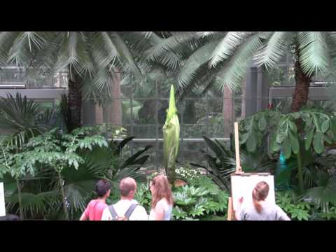 Archive - Corpse Flower at United States Botanic Garden Live Stream - July 25, 2016