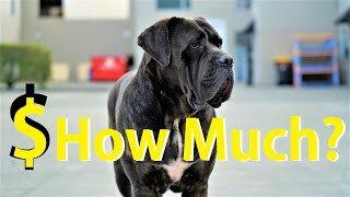 How Much It Costs To Own a Cane Corso or Similar Size Dog