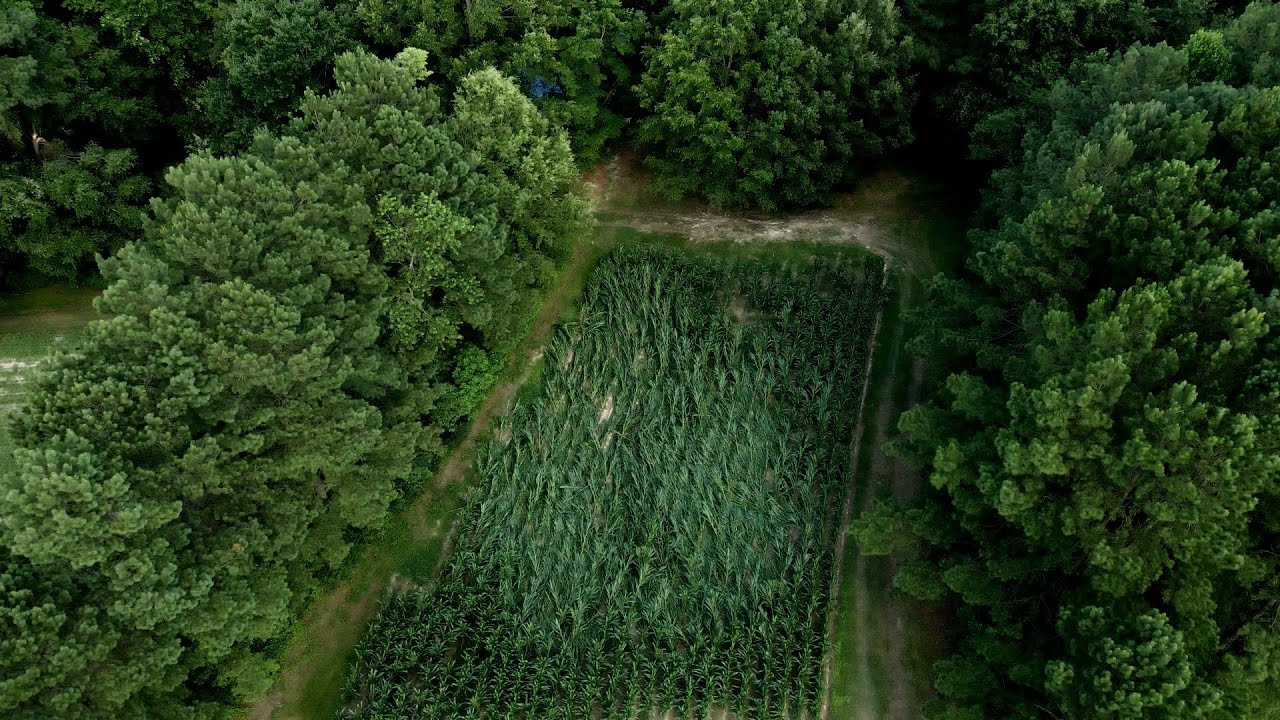 Aerial of corn after Storm and first planted beans