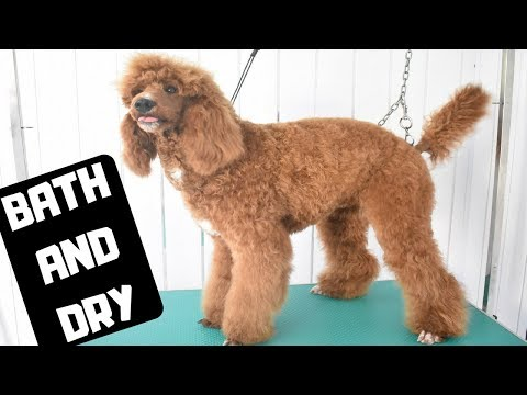 Standard Poodle having a bath and blow dry - Professional dog grooming salon tutorial