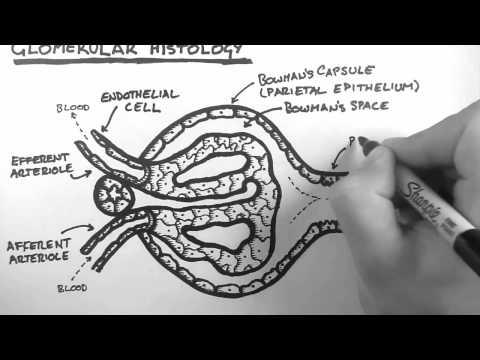 Renal Anatomy 3 - Glomerular Histology