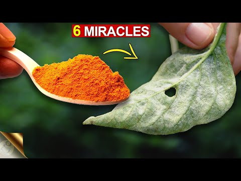 6 AMAZING MIRACLES OF TURMERIC IN GARDEN | TURMERIC POWDER FOR PLANTS