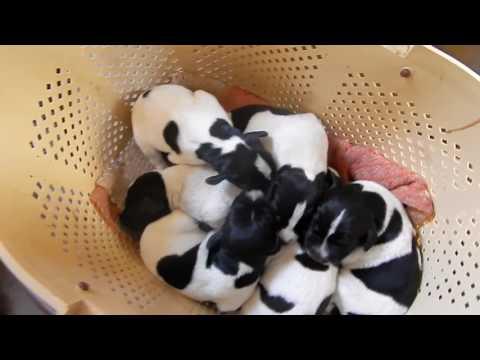 Щенки после купирования хвостов - День 7 - Уход за щенками день за днем