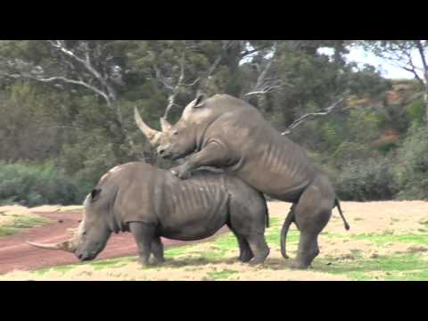 It takes 2 ? ? ? Werribee Open Range Zoo Rhino Love