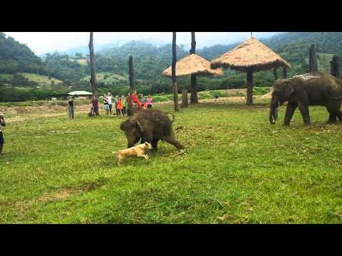 Cute Baby Elephant Gets Frustrated After Chasing A Dog