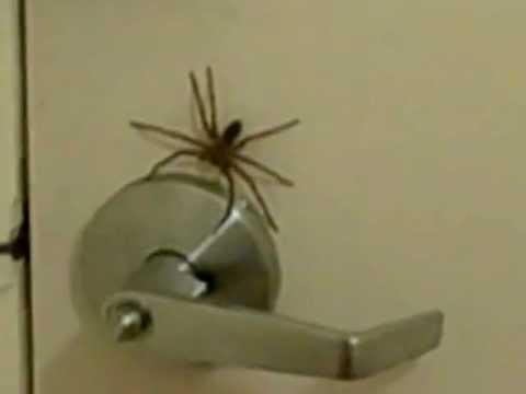 Huntsman Spider on My Front Door & Huntsman Spider on My Front Door - YouTube Pezcame.Com