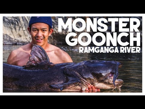 MAJESTIC GOONCH CAUGHT AT RAMGANGA RIVER