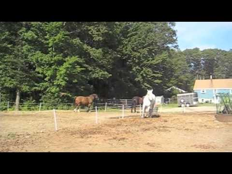 Percheron Challenging a Clydesdale