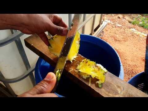 วิธี ทำปุ๋ยน้ำชีวภาพ แบบง่ายๆ จากสับปะรดฉีกตา    By ไร่ภูอ่าวน้อย