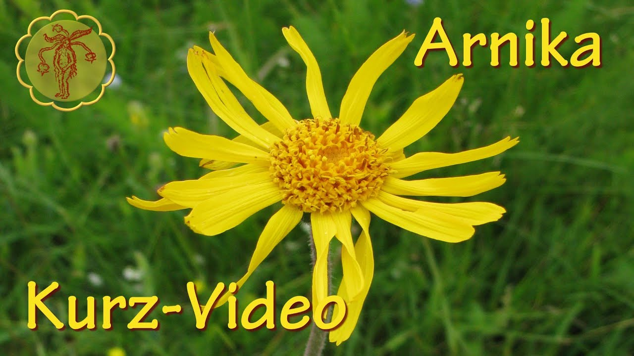Heilpflanze Arnika  KurzVideo  YouTube