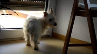 """Unser Neuer Mitbewohner """"pikachu"""" Erforscht Sein Neues Zuhause :-) West Highland Terrier"""