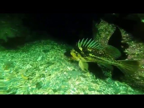 Extreme Scuba diving with ripping puget sound currents and monster attacking lingcod
