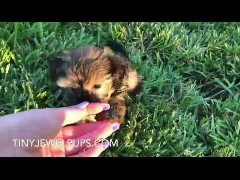 Penny the Havashire (Havanese /Yorkshire Terrier) Puppy