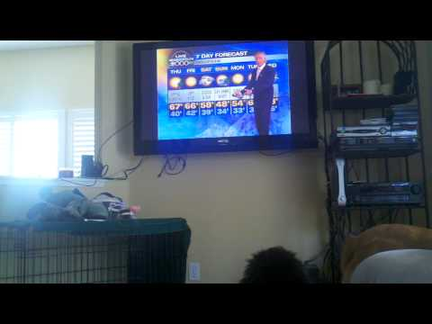Puppy barking at Dallas Raines the weather man.
