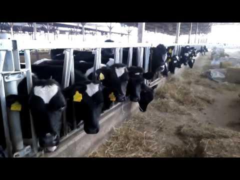 Qatar dairy farm