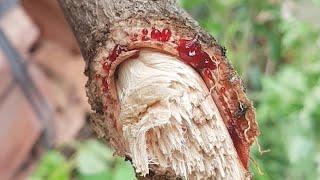 Loài cây chảy máu đỏ tươi là sự thật - The bright red bleeding tree species is true.