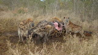Hyena on Giraffe Carcass: Exeter River Camp, Sabi Sands GR