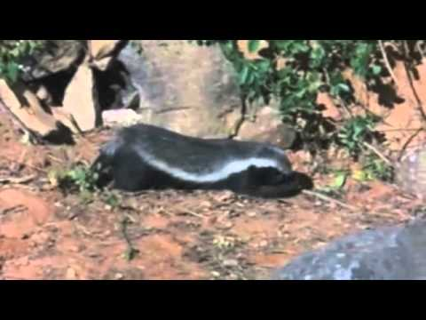 ratel and honeyguide symbiotic relationship examples
