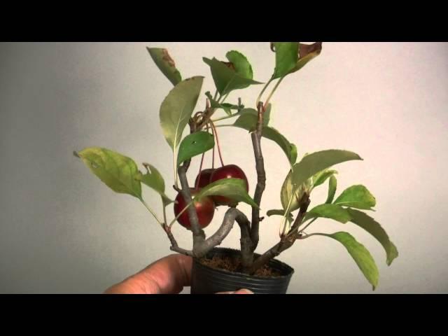 ヒメリンゴ-B1(姫林檎盆栽)Malus prunifolia bonsai