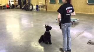 Garrett 5 Month Old Giant Schnauzer Tricks