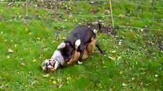 Staffy porn - the missionary position