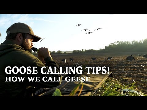 Goose Calling Tips   How to Call Geese