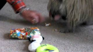Our Cairn Terrier Tigger On Christmas Of 2010