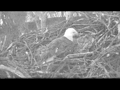 EAGLE CAM 2017 - Egg #2 being laid! - ECC, MPDC - Washington, DC