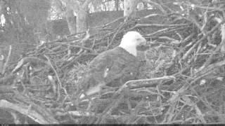 EAGLE CAM 2017 - Egg #2 being laid! - ECC, MPDC - Washington, DC thumbnail