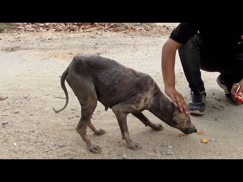 Rescue of sweetest street dog dying from mange