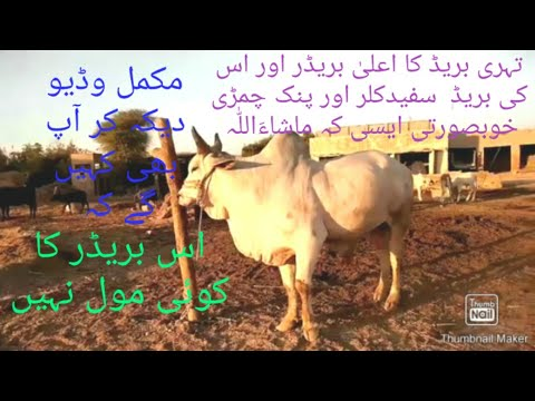 most-beautiful-tharparkar-cows-breed/thari-breeder