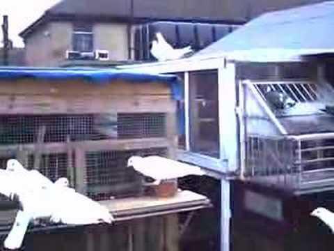 pigeons 2007 bred!