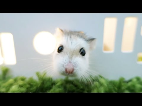 Hamster Walks Through Walls!