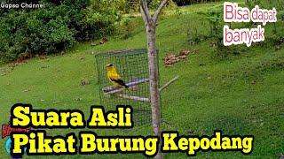 Download Mp3 🍅 Asli Suara Pikat Burung Kepodang Emas Gacor Gogor Masteran