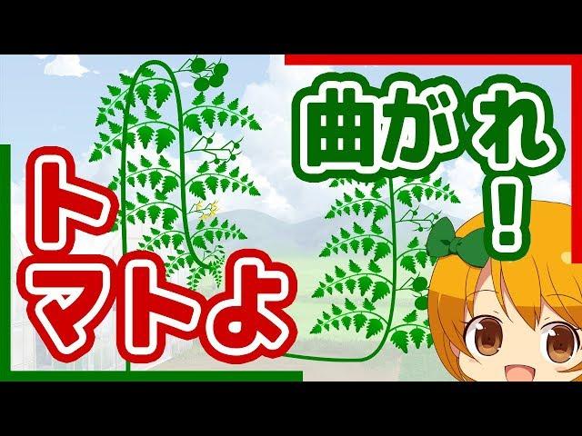 トマトよ曲がれ!